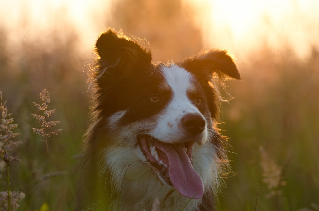 Border Collie Hundesitter